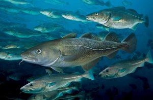 Atlantic cod, Paulo Oliveira / Alamy Stock Photo
