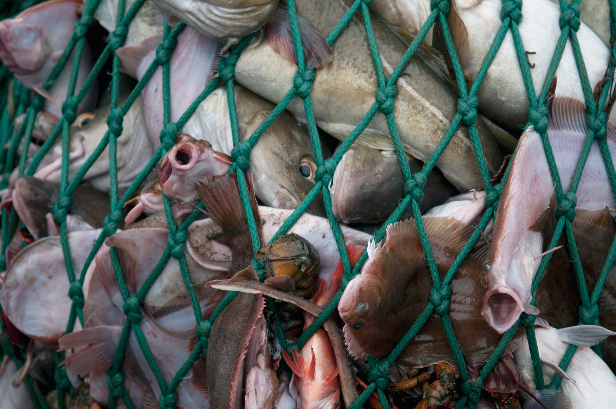 Fishing dragger hauls in net full of Atlantic Cod fish
