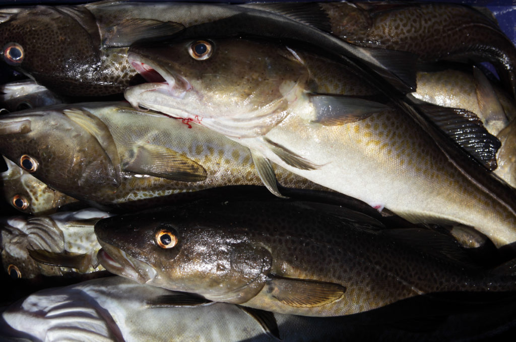 Kagsdorf, Germany, freshly caught cod - Agencja Fotograficzna Caro / Alamy Stock Photo